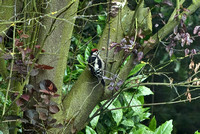 29th May 2011. A young Greater Spotted Woodpecker sighting.