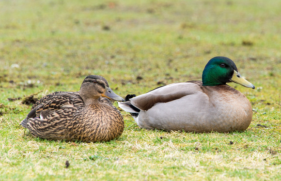 Mallard ducks take a rest from the wind sitting on the lawn outside the closed Port Erin Marine Lab.